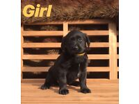 Gorgeous Labrador Puppies - Ready Now