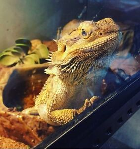 Bearded dragon. (Everything included)