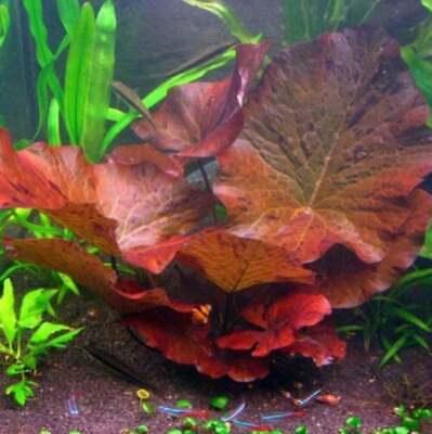 *BUY 2 GET 1 FREE* Dwarf Water Lily Nymphaea Stellata Rubra Aquarium Plants ✅