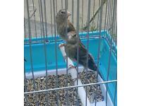 Baby goldfinch mule