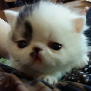 T.I.C.A. REG. EXOTICS SHORT HAIR AND LONG HAIR(PERSIAN)