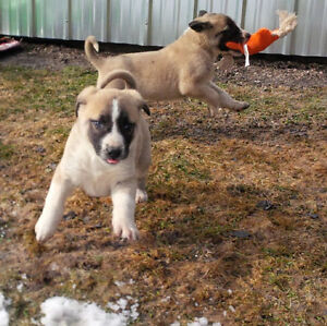 Rare Registered Anatolian Shepherd Puppies