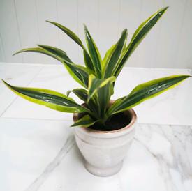 Indoor Dracena plant in Ceramic