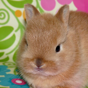 Netherland Dwarf Baby Bunnies Available