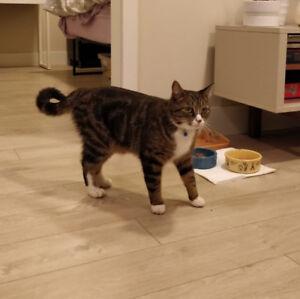 Missing Cat - Black Tabby