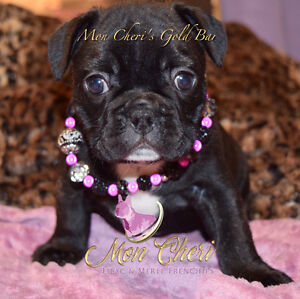 Quality healthy French Bulldog Puppies