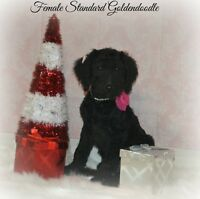 Female Standard Goldendoodle !! Only 1 left