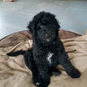 Aussiedoodle F1B ... 1 male