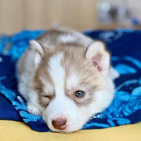Siberian Husky puppy ready now 8 weeks old