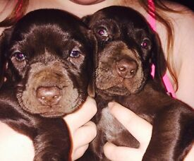 Lovely pointer pups for sale