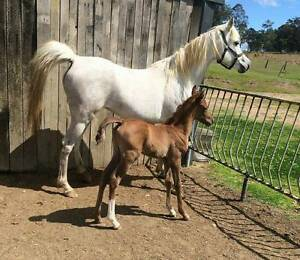 Purebred Arabian weanling colt Al Kha-Zar/El Shaklan breeding Nabiac Great Lakes Area Preview