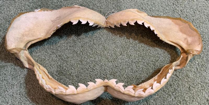 "16""w X 8"" Tall - Tiger shark Jaw Teeth Tooth Taxidermy Skull Real bone Skeleton"
