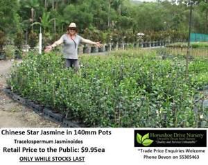 Chinese Star Jasmine 140mm Pot Evergreen Glossy Leaves HS019