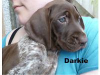 German Shorthaired Pointer pups GSP puppies KC registered