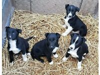 Border Collie Puppies - Only 5 left!