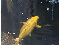 Pond Fish For Sale £500 for all