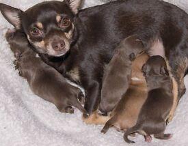 Pedigree Chihuahua's puppys