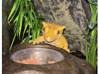 Beautiful Crested Gecko with full active-bio setup, lights and heatmat