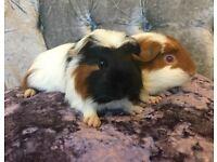 Gorgeous Baby Boy Piggie Pair