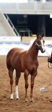 TLQ Quarter Horse Stud Retirement from Showing/breeding sale Lemnos Shepparton City Preview