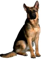 Purebred Male German Shepherd Stud Service