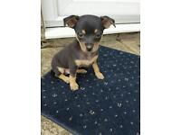 Rusian toy terrier mini dogs for sale