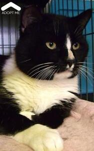 "Adult Male Cat - Domestic Short Hair: ""Houdini"""