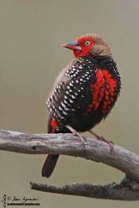 Painted firetail finch or Emblemas Northcote Darebin Area Preview
