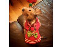 Yorkshire terrier miniature 6months-old boy