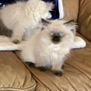 Registered  Himalayan/Persian kittens