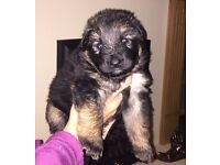 German shepherd puppies stunning litter of 7 ,