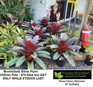 Bromeliads Silver Plum 250mm Pots Absolutely Splendid! Plants Mudgeeraba Gold Coast South Preview