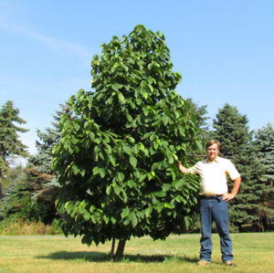 Wanted : healthy pair of PAWPAW trees, anywhere in ONT