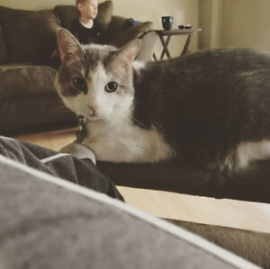 Rocket - Lost Male Cat - Grey and White Shorthair