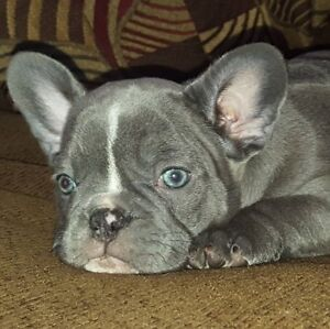 French Bulldogs Puppies (BLUE'S AVAILABLE)