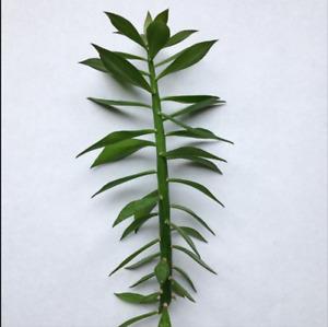cactus plante pereskiopsis