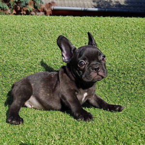 Black and fawn French Bulldog males for sale