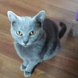 Chartreux female purebred - spayed
