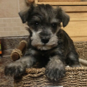 Miniature Schnauzer puppies - taking deposits