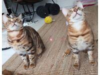 8 month Bengal Cat