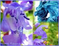 ♥ Drachenkopf Duft + Teepflanze,Samen,Bienenweide,Kräuter Garten Eimsbüttel - Hamburg Schnelsen Vorschau