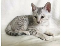 Stunning PURE, FULL SPOTTED BENGAL Kittens - £600 each