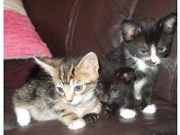 2 tabby kittens