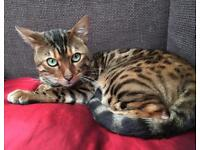 Adult Male Rosette Bengal - 3 years old