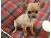 Beautiful chihuhua bitch pup