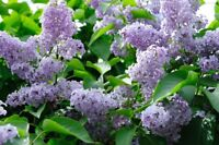 WaNtEd: Lilac Flowers!
