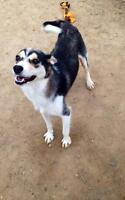 "Adult Female Dog - Husky: ""Rosita"""