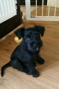 LOOKING for a Miniature Schnauzer Puppy