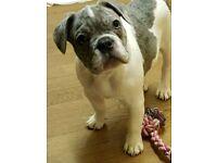 KC Registered Blue merle French Bulldog