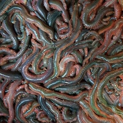 FRESH RAGWORM 1LB order by 12pm for next day delivery